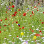 wildflowers seed Wild Meadow Wildflower Mix