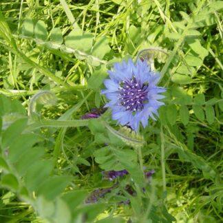 Cornfield Annuals Wildflower Mix