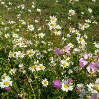 Dry Soils Wildflower Mix