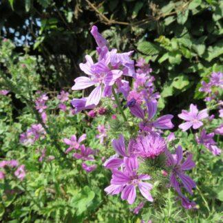 Hedgerow Shade Wildflower Mix