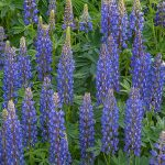 BLue Lupin green manuring technical seed terms