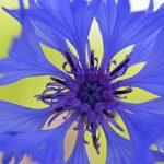 cornflower flower