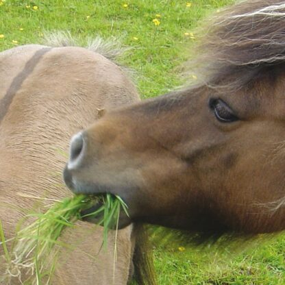 equine mixes laminitis