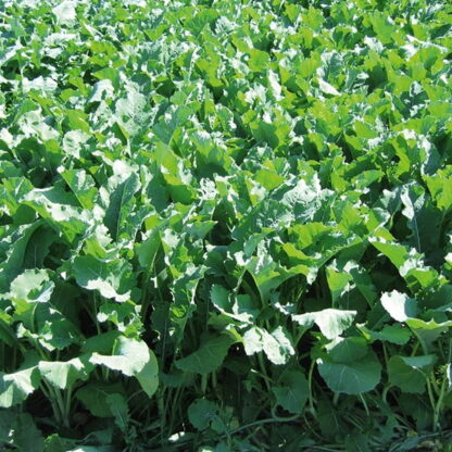 Forage Rape