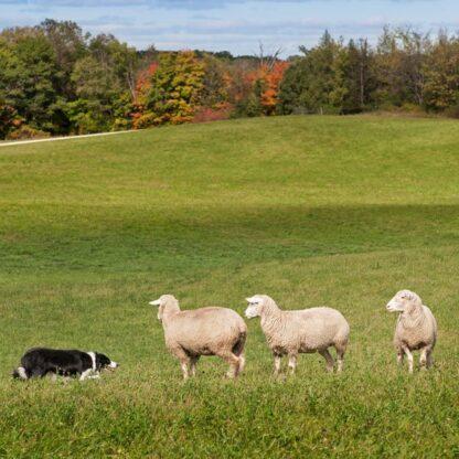 grazing mixes clover permanent pasture