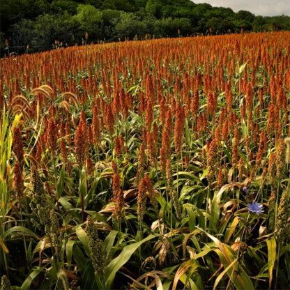 Japanese Reed Millet