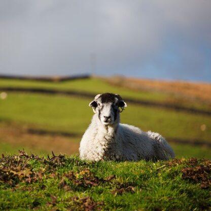 sheep catch crop mix