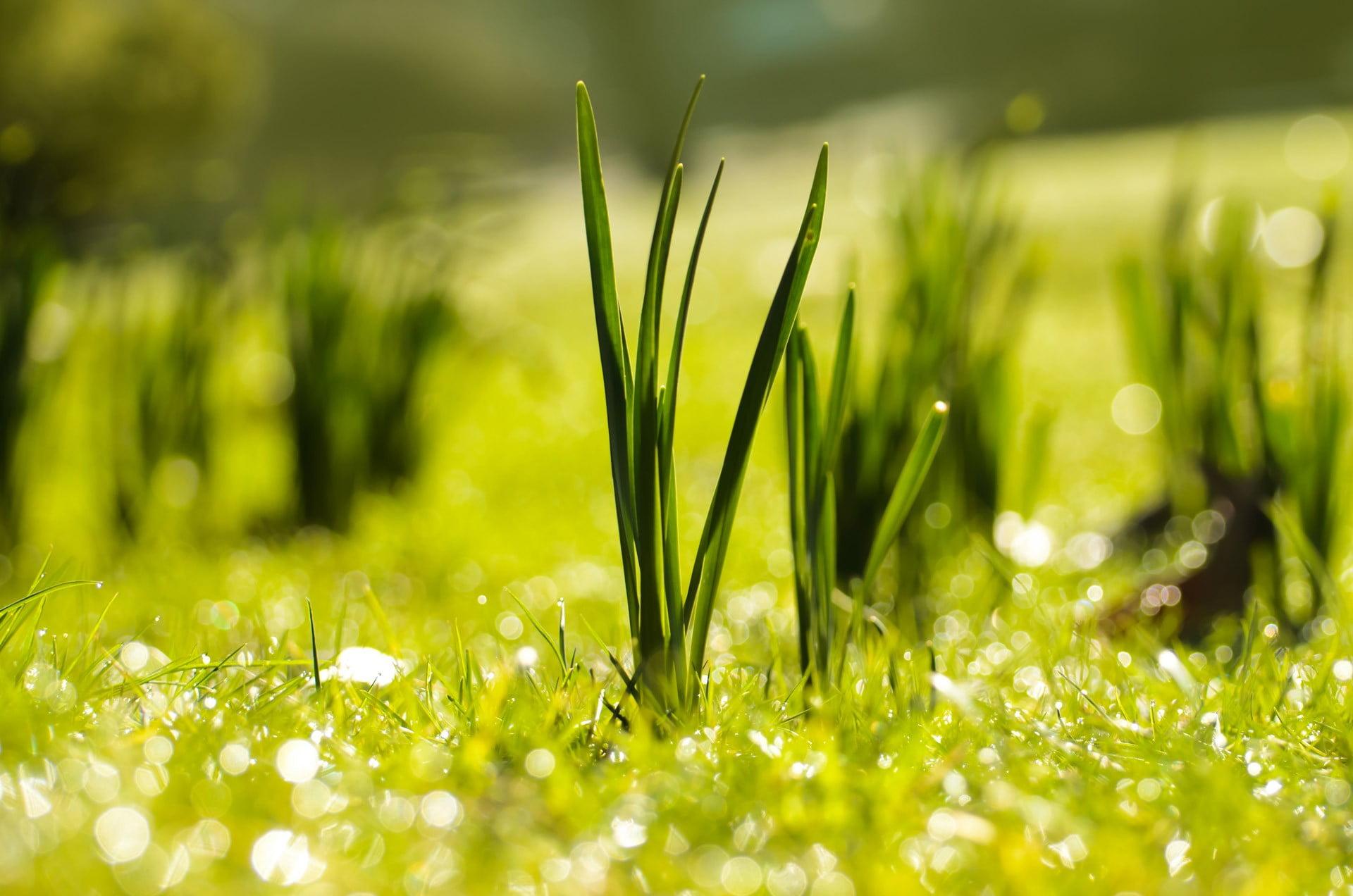 Back Lawn grass