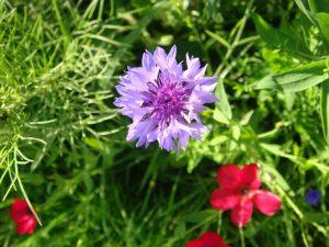 Lawn Seeds Wildflower ranges