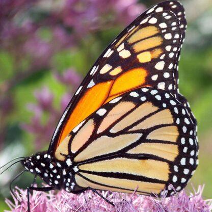 Butterfly Wildflower mix