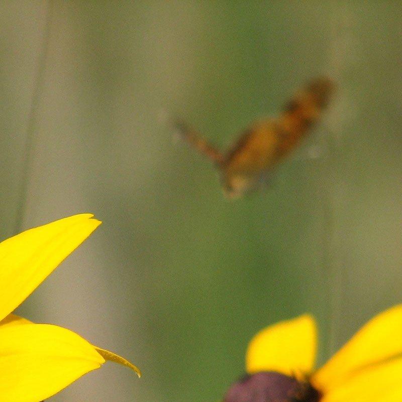 Late Summer Moth