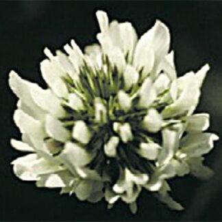 Jura White Clover