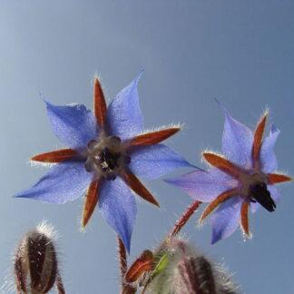 Borage Seed flowers